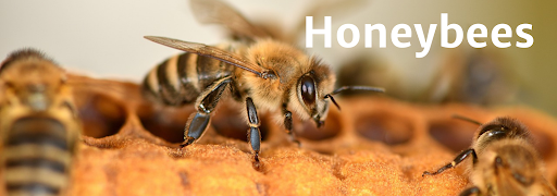 """Bee on flower with overlying text reading """"Honeybees"""""""
