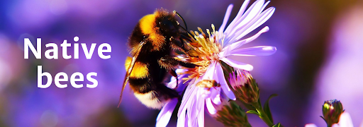"""Bee on flower with overlying text reading """"Native Bees"""""""